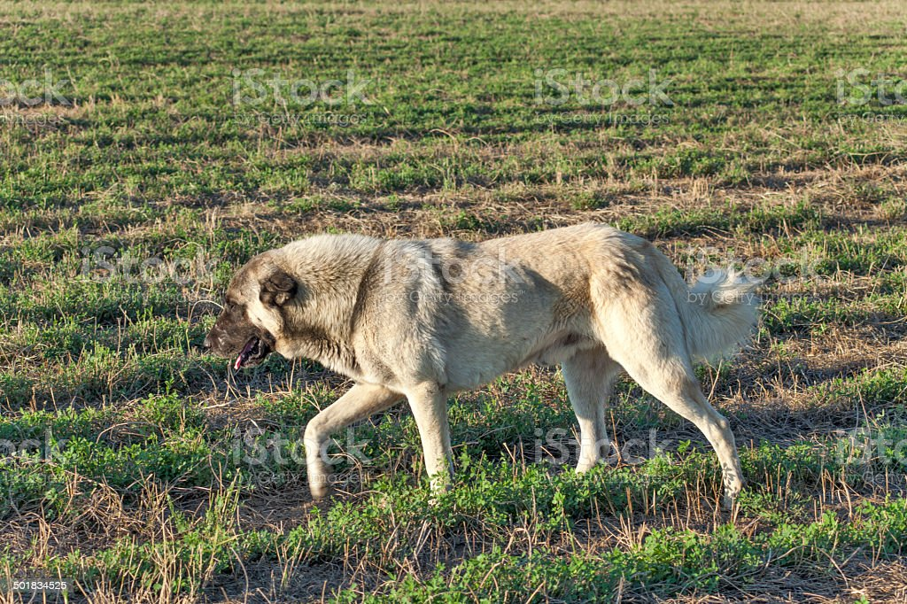 Big Kangal Dog stock photo