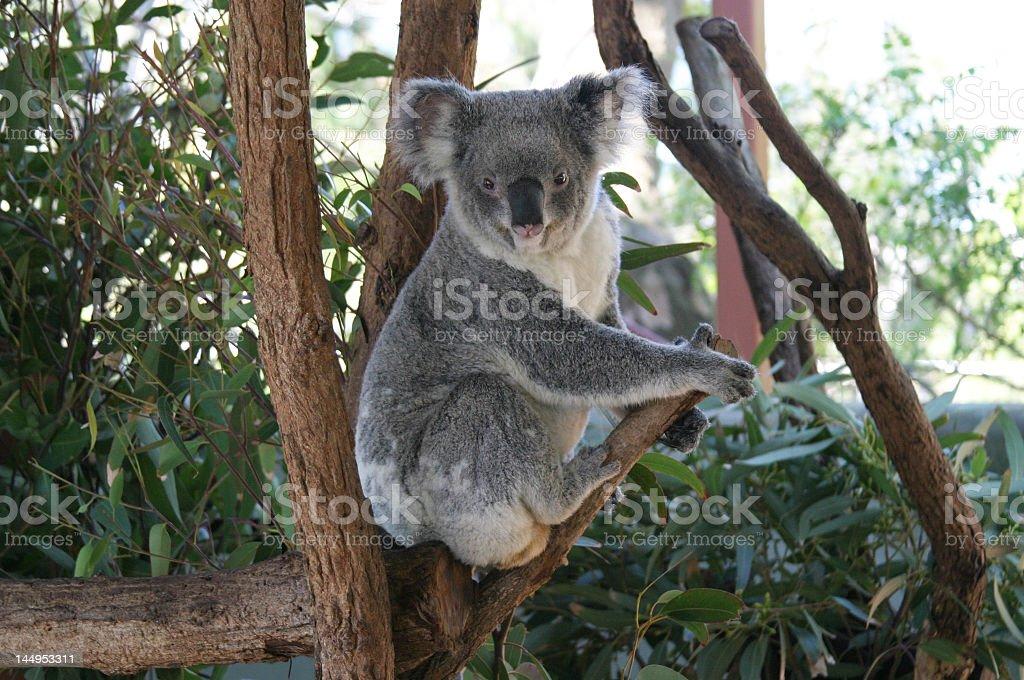Big Koala stock photo