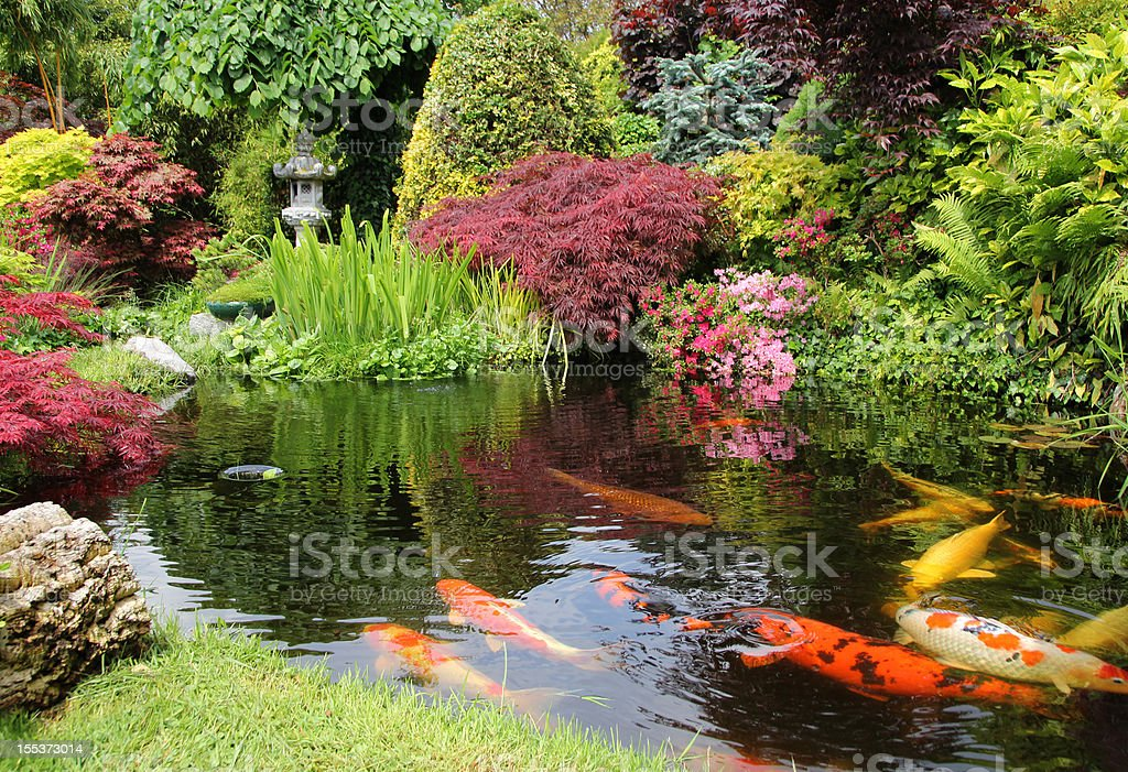 A big koi pong with orange fish and greenery stock photo