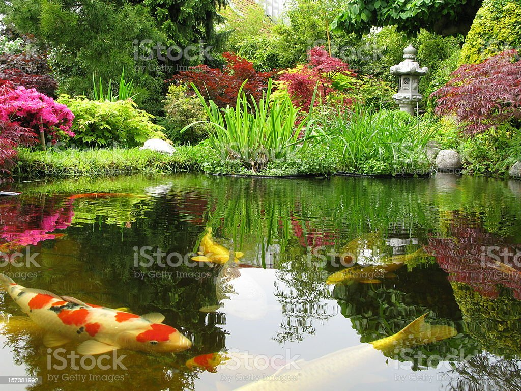 Big Kois in the pond stock photo
