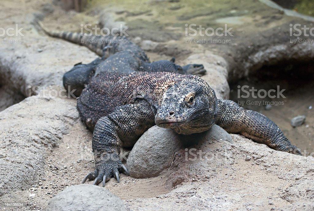 Big Komodo Dragon royalty-free stock photo