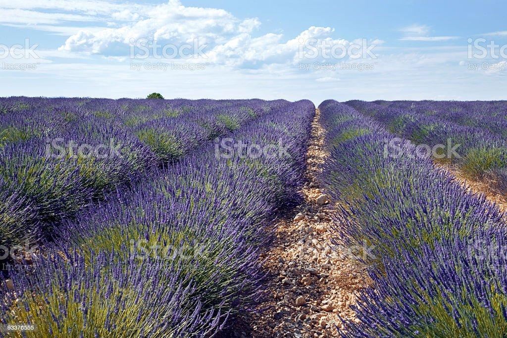 Big Lavender field at Provence stock photo