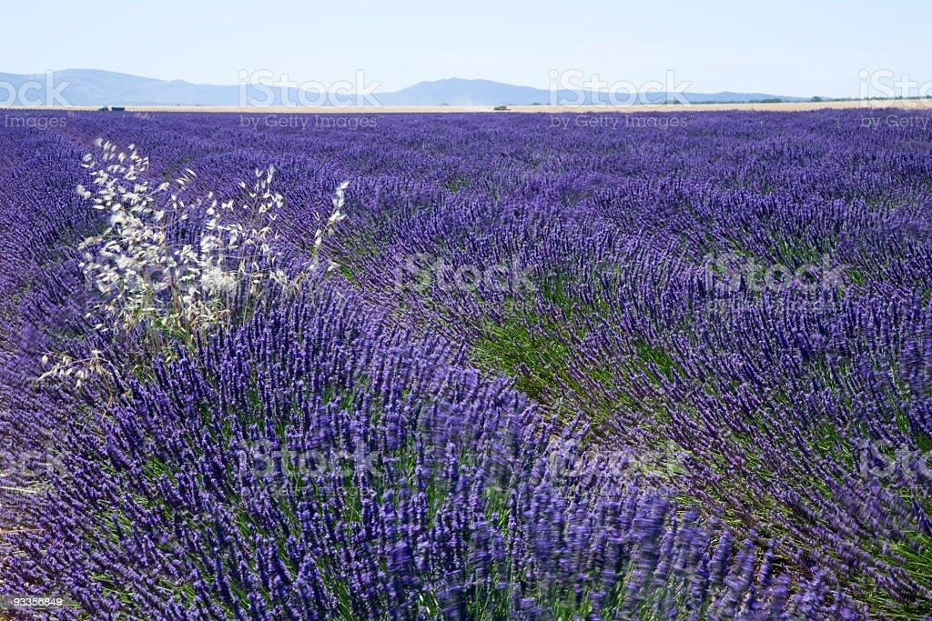 Big Lavender field stock photo