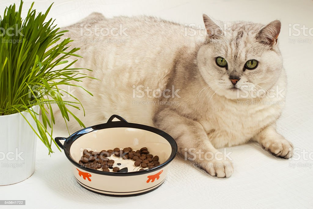 Big lazy overweight cat with bowl of dry food stock photo