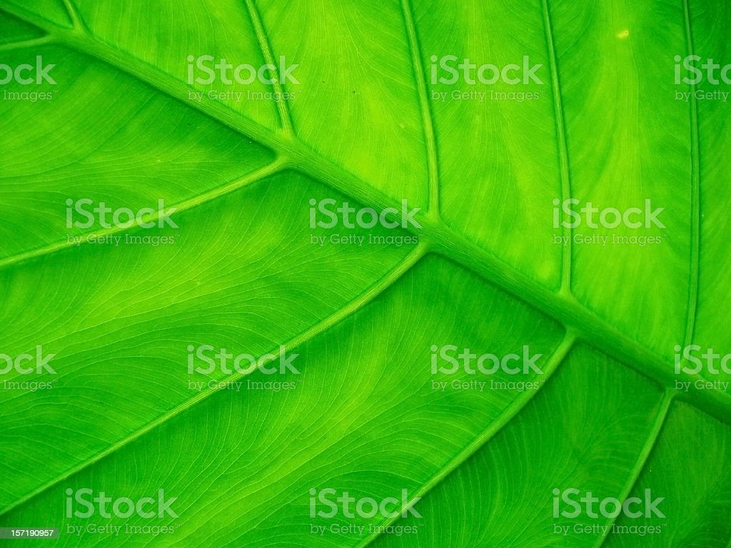 big leaf royalty-free stock photo