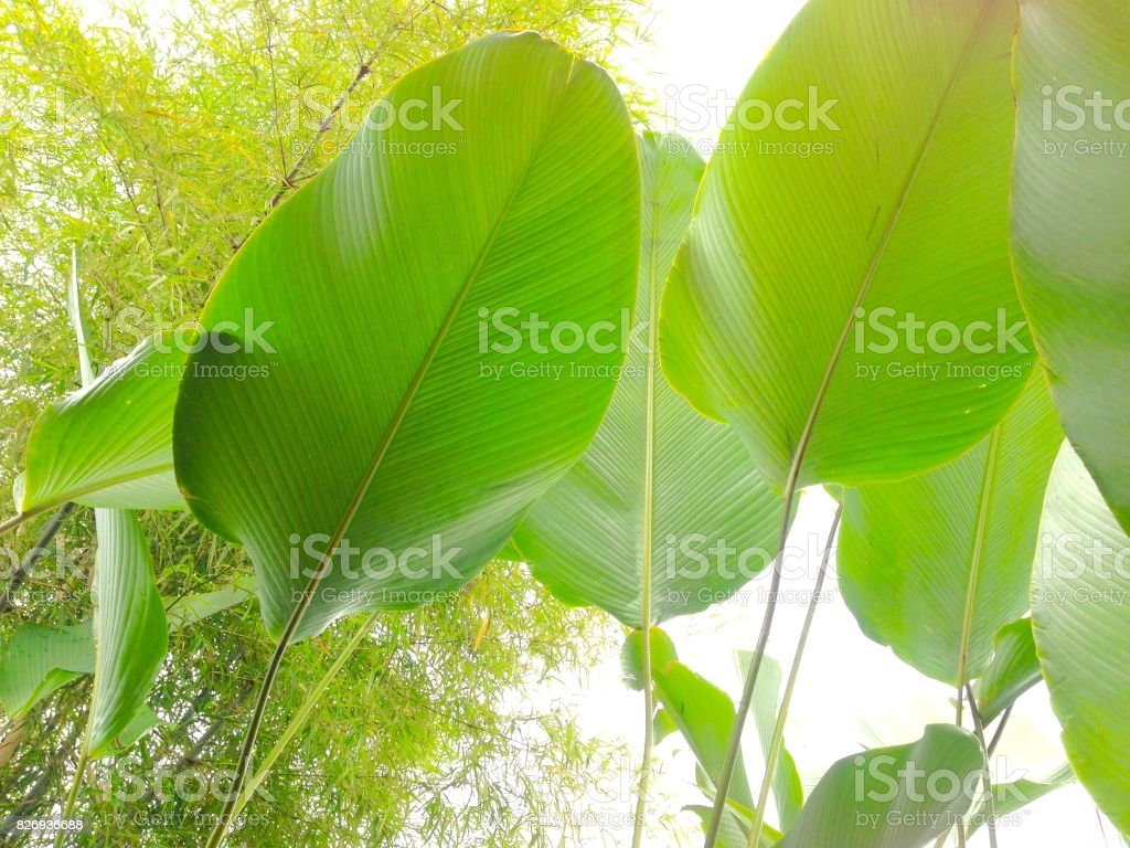Big leaf that is attached stock photo