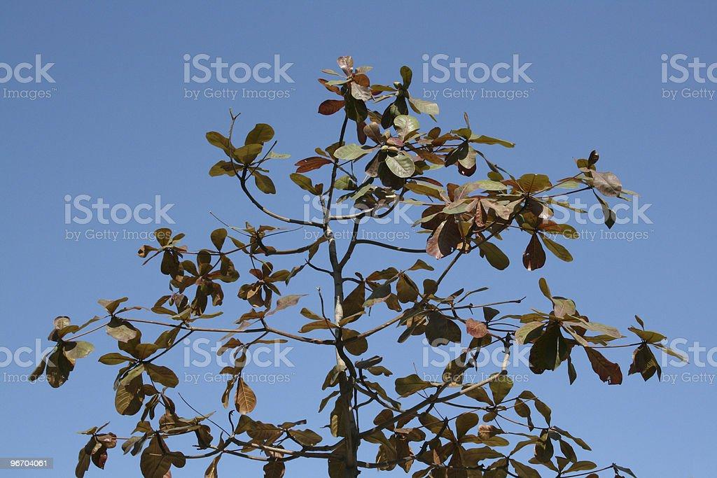 Big Leaf Tree royalty-free stock photo