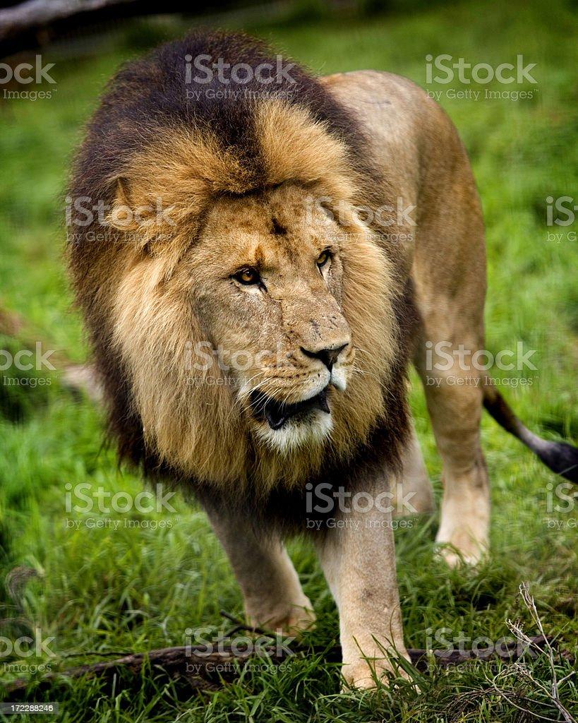 big lion - walking royalty-free stock photo