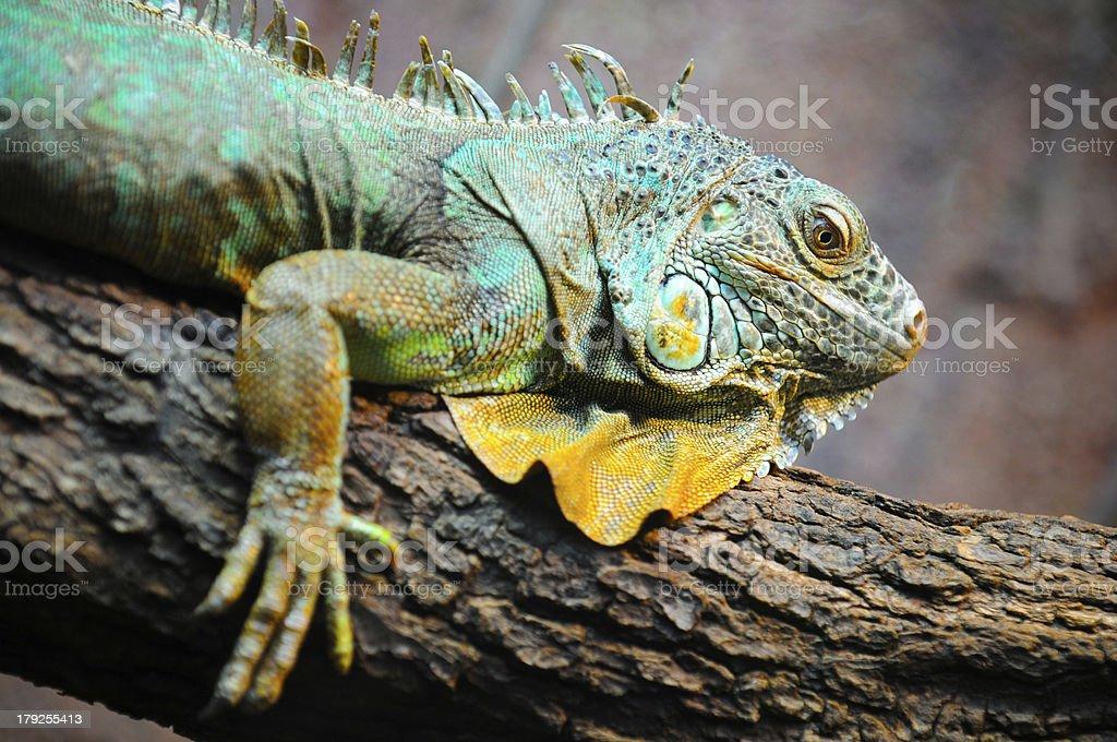 Big lizard close-up stock photo