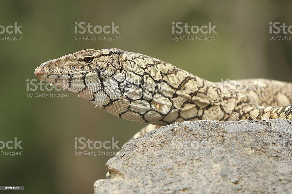 Big Lizard stock photo