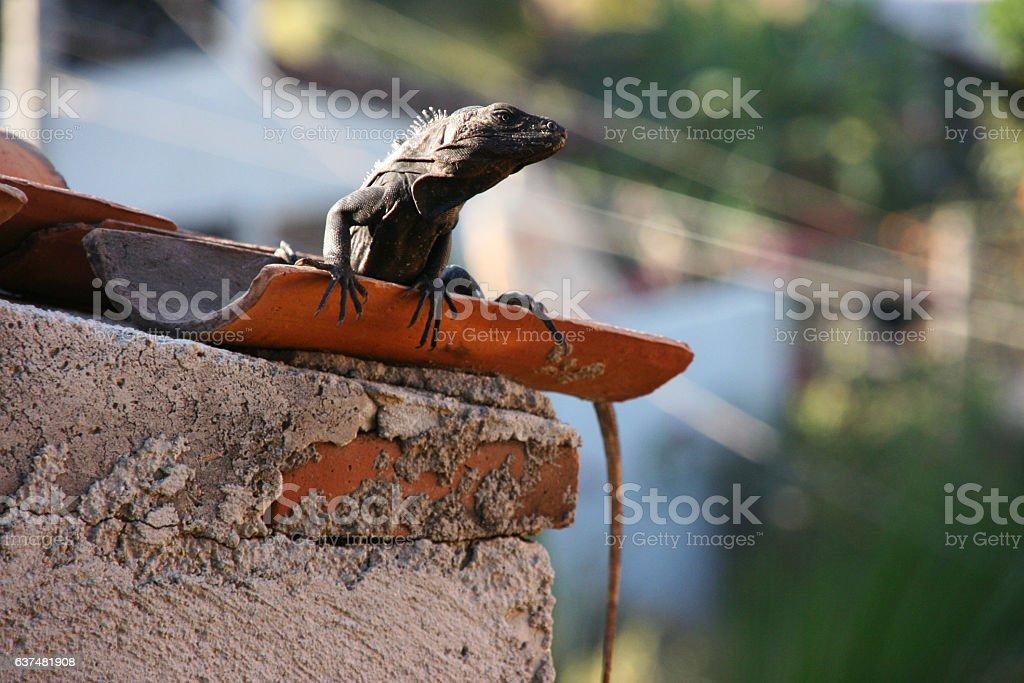 Big lizard, Puerto Escondido, Mexico stock photo