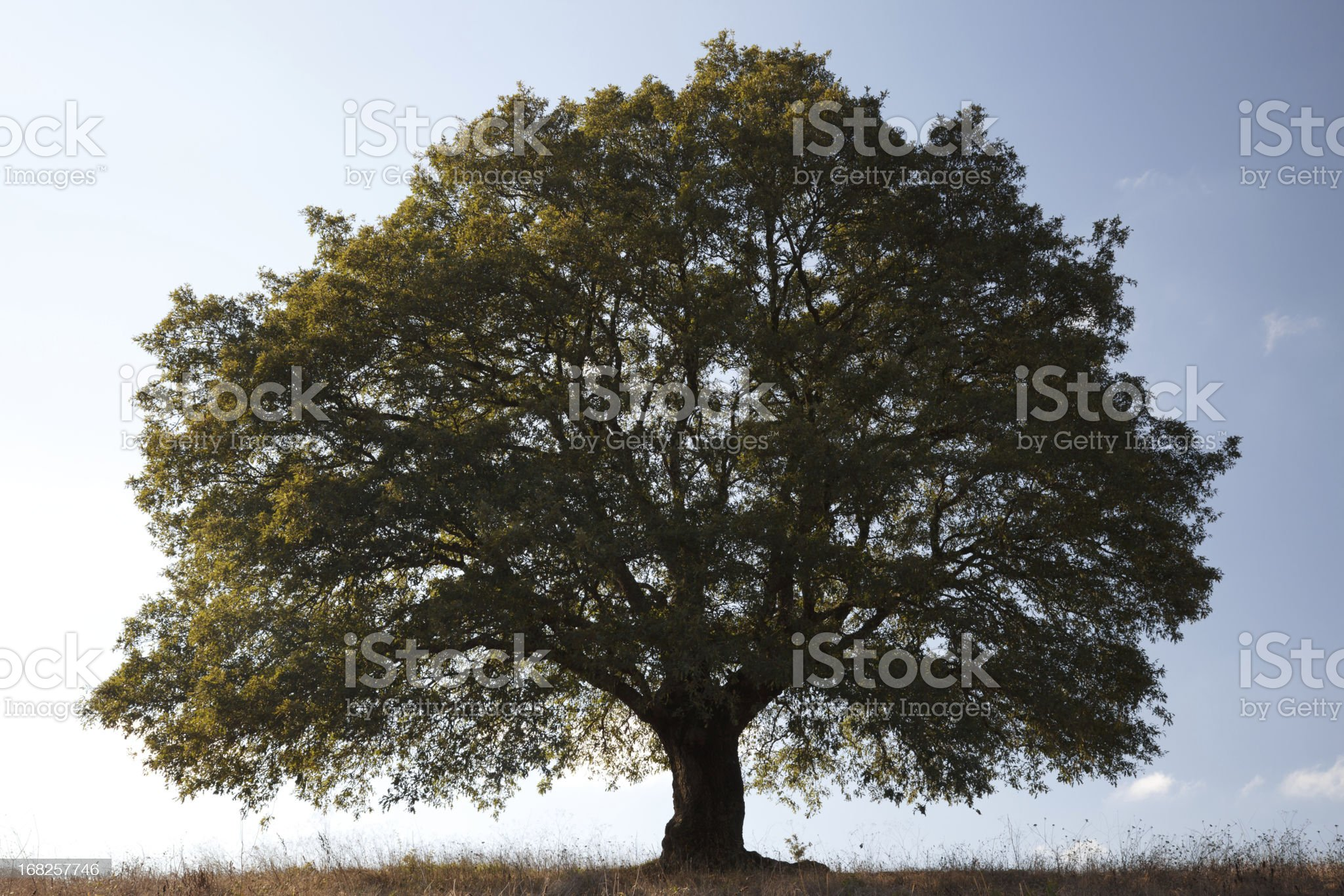 Big Lonely Tree royalty-free stock photo
