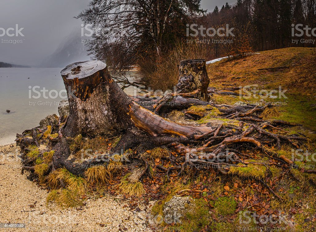Big Lonely Tree Root By the Lake's Side stock photo