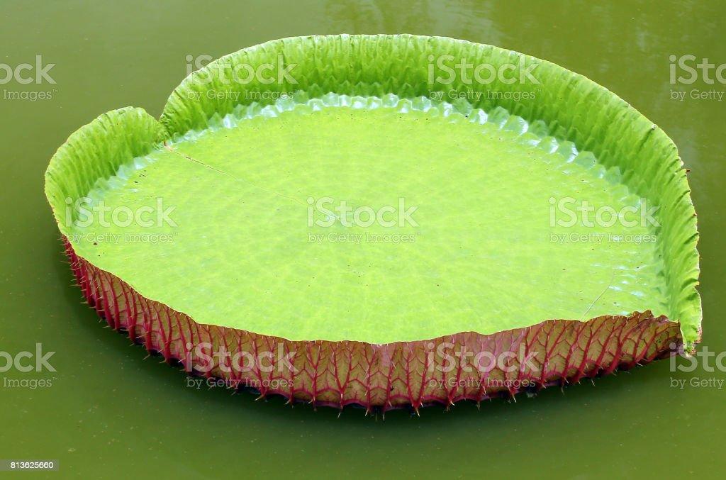Big lotus leaf on pool. stock photo