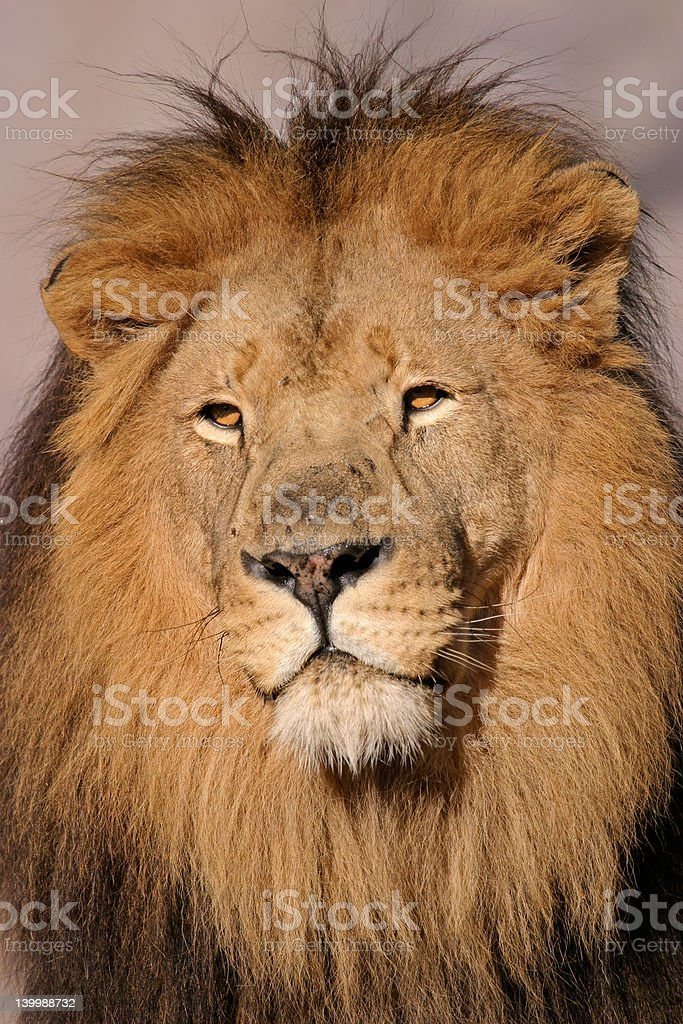 Big male Afdrican lion royalty-free stock photo