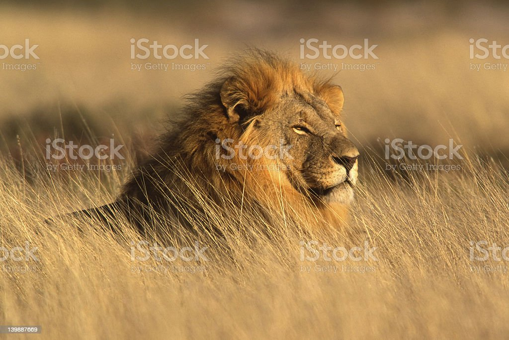 Big male African lion stock photo