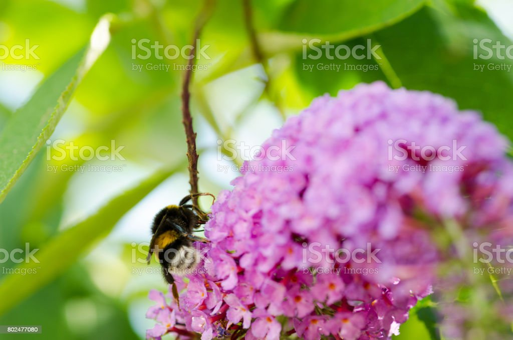 Big male bee on the lilac flower. Drone bee close up. Selective focus. stock photo