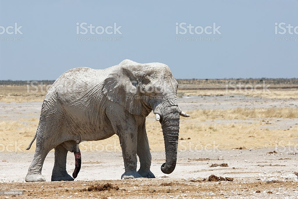 Big male elephant stock photo