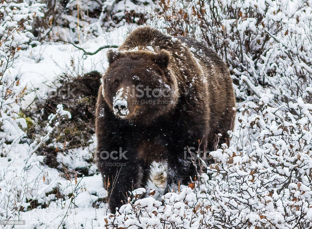 Big male grizzly bear stock photo