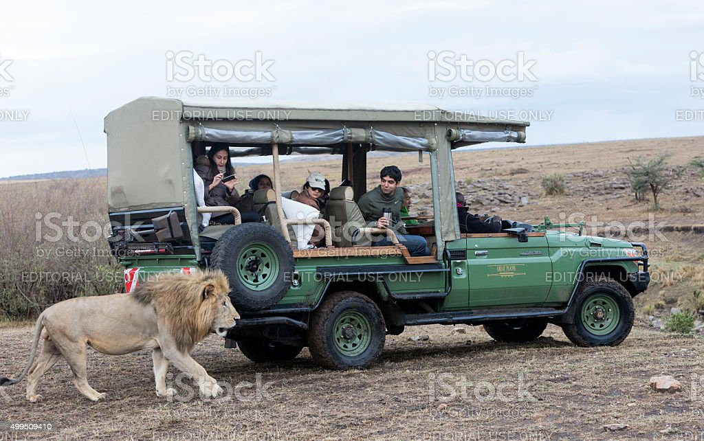 Big male lion passing close to safari vehicle. Masai Mara. stock photo