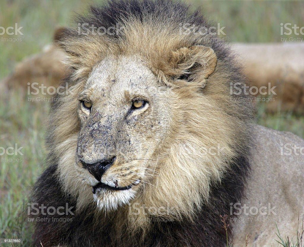 Big Male Lion royalty-free stock photo