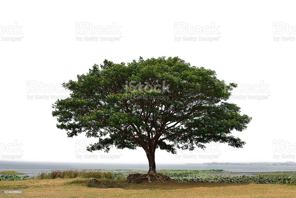 big mimosa tree stock photo