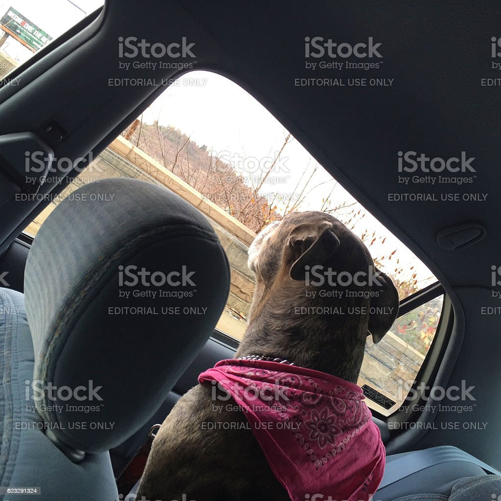 Big Mixed Breed Dog Looking out Car WIndow stock photo
