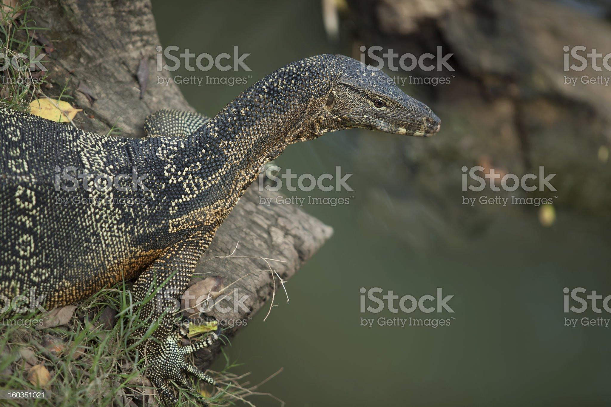 big monitor lizard royalty-free stock photo