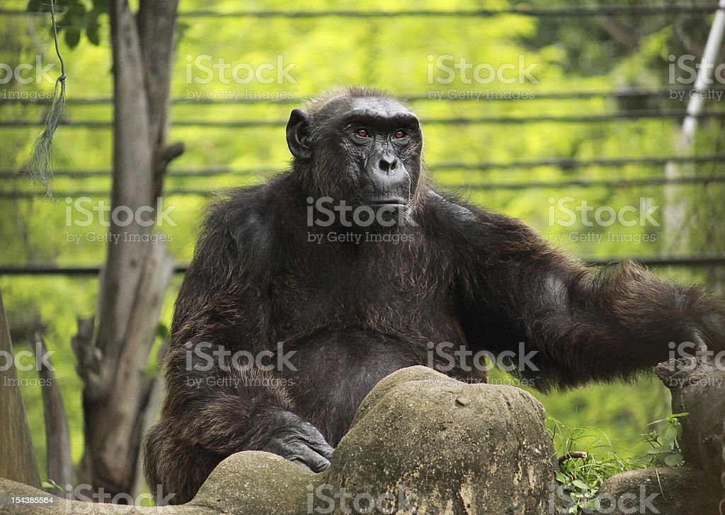 Big monkey on the rock royalty-free stock photo