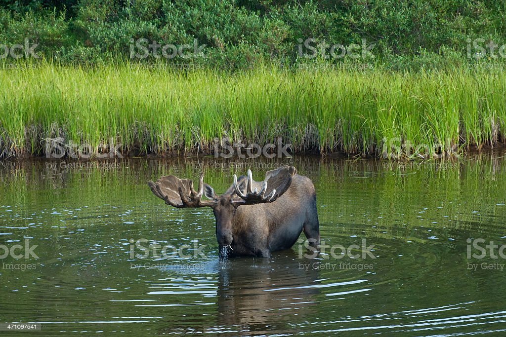 Big Moose royalty-free stock photo