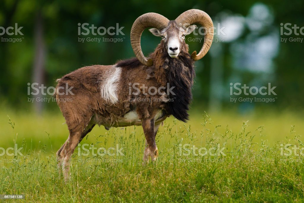 big moufflon ram stock photo