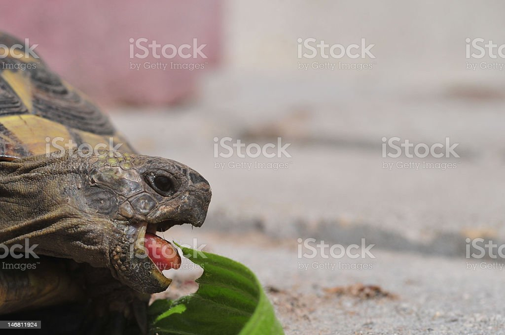 big mouth of a turtle stock photo
