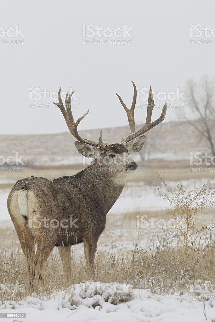 Big Mule Deer Buck in Snow stock photo