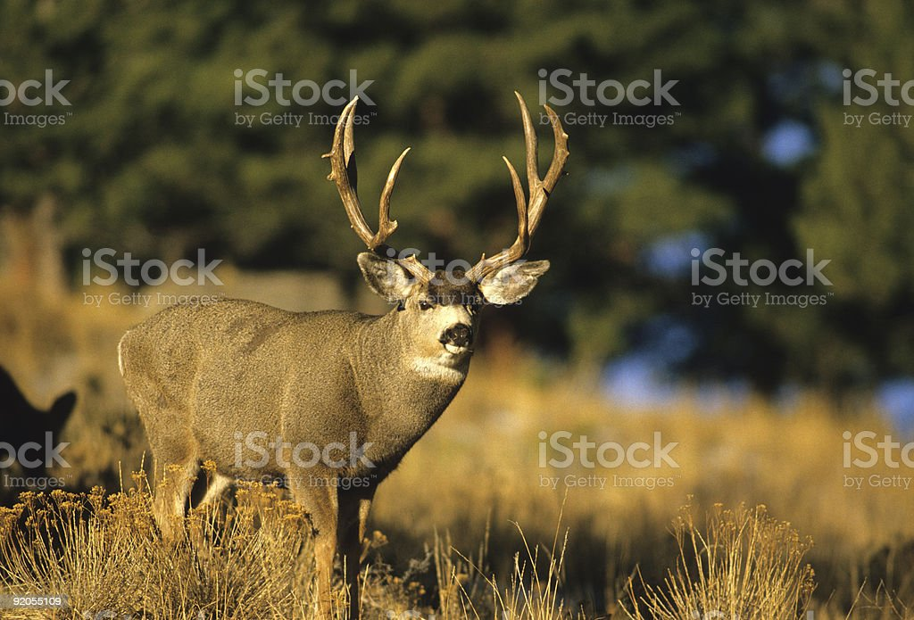 Big mule deer buck on a sunny day stock photo