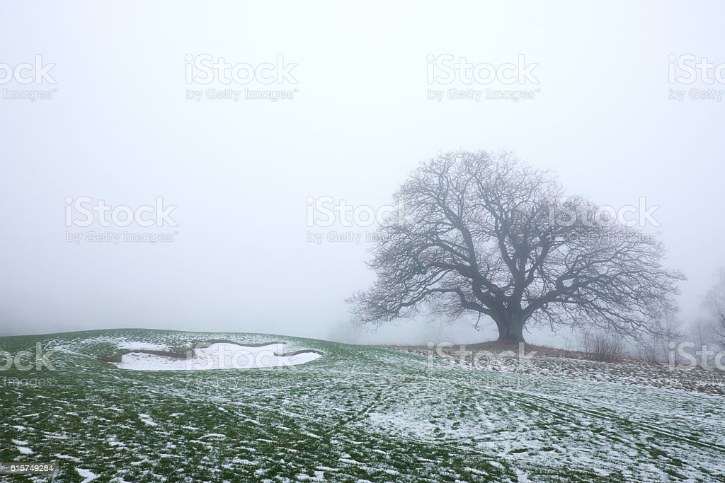 big naked oak tree in the mist stock photo