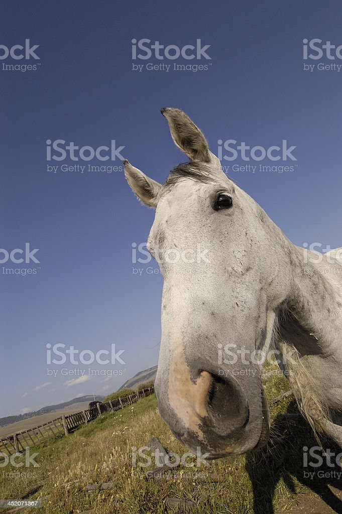 Big Nose Horse royalty-free stock photo