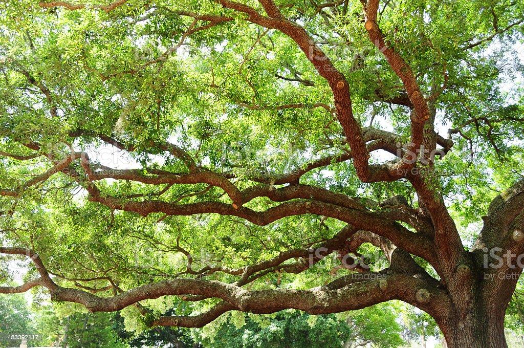 Big oak tree in spring royalty-free stock photo