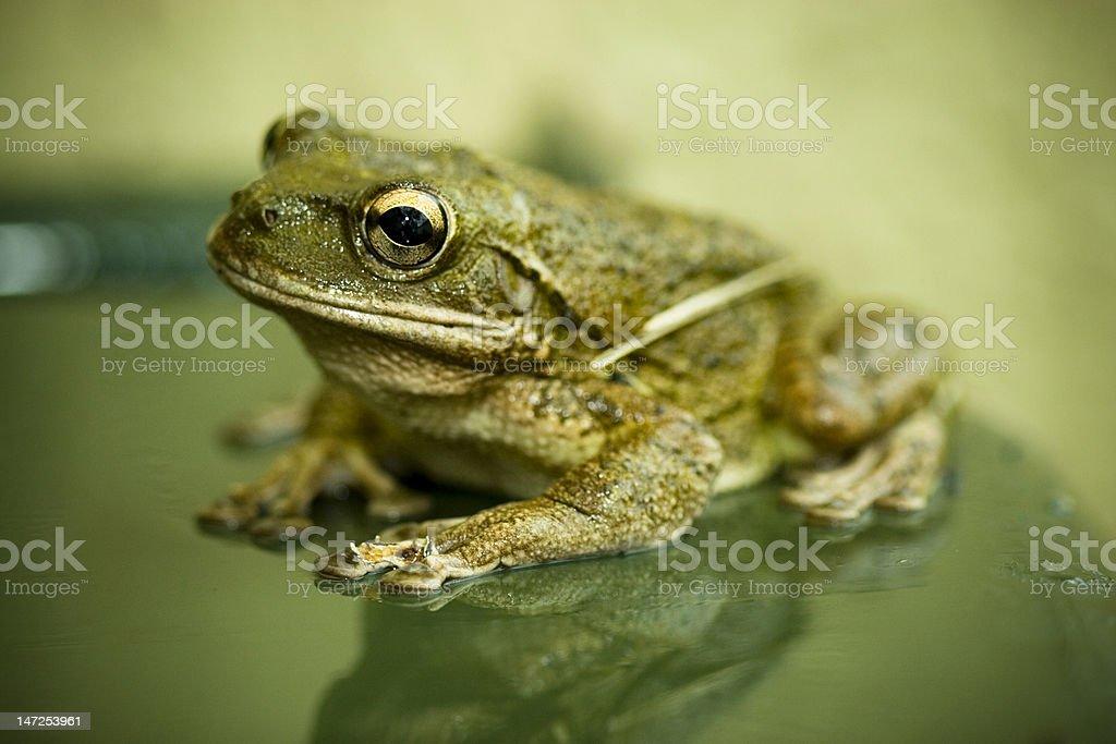 Big ol' Bullfrog stock photo