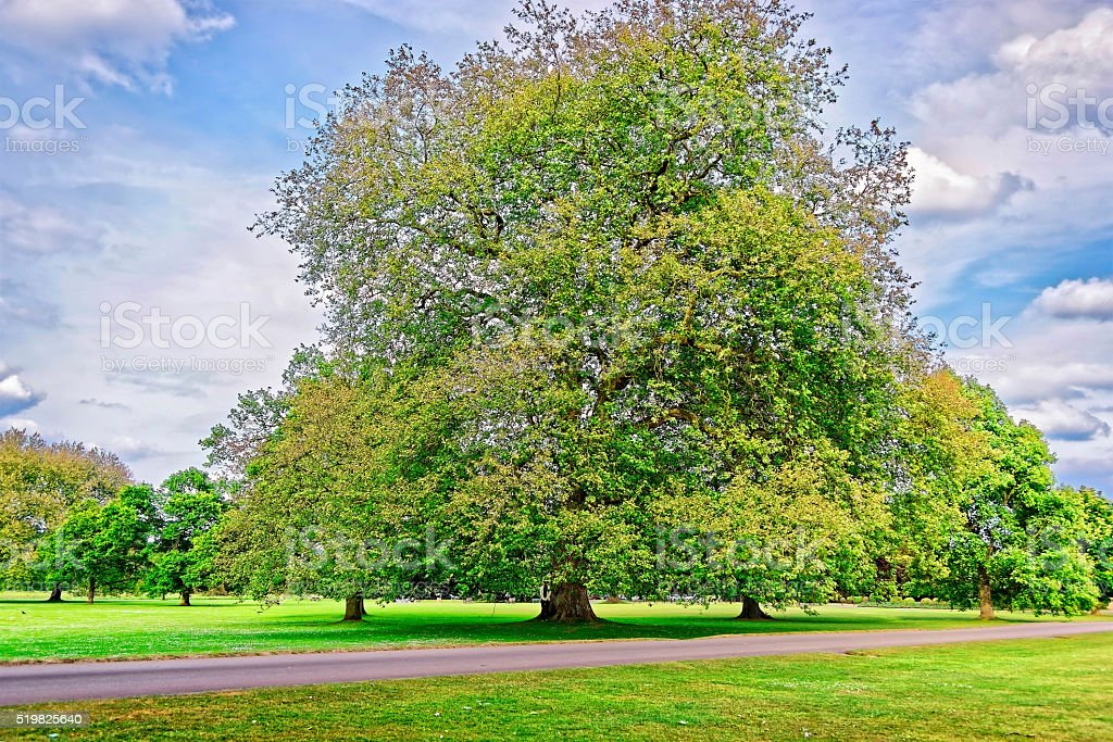 Big old Alder tree in Park of Audley End House stock photo