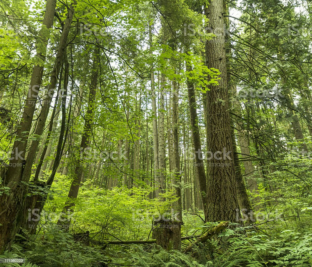 Big Old Forest royalty-free stock photo