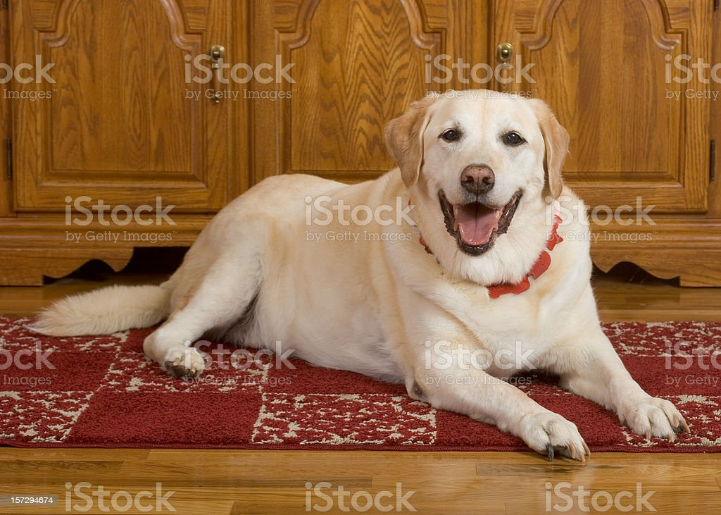 Big Old happy Yellow Labrador stock photo