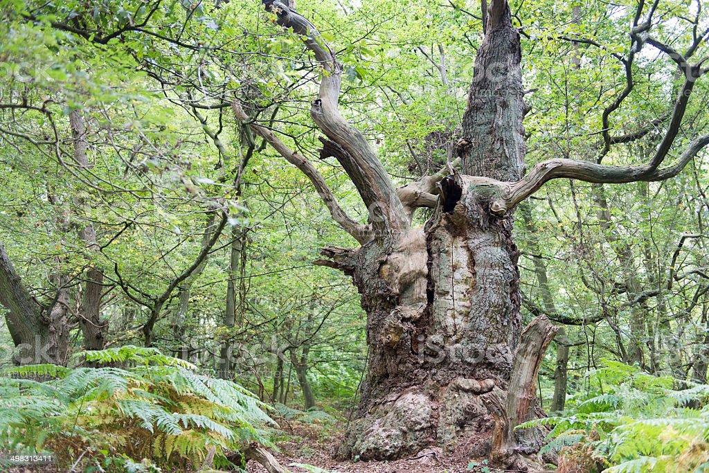 Big old oak tree stock photo
