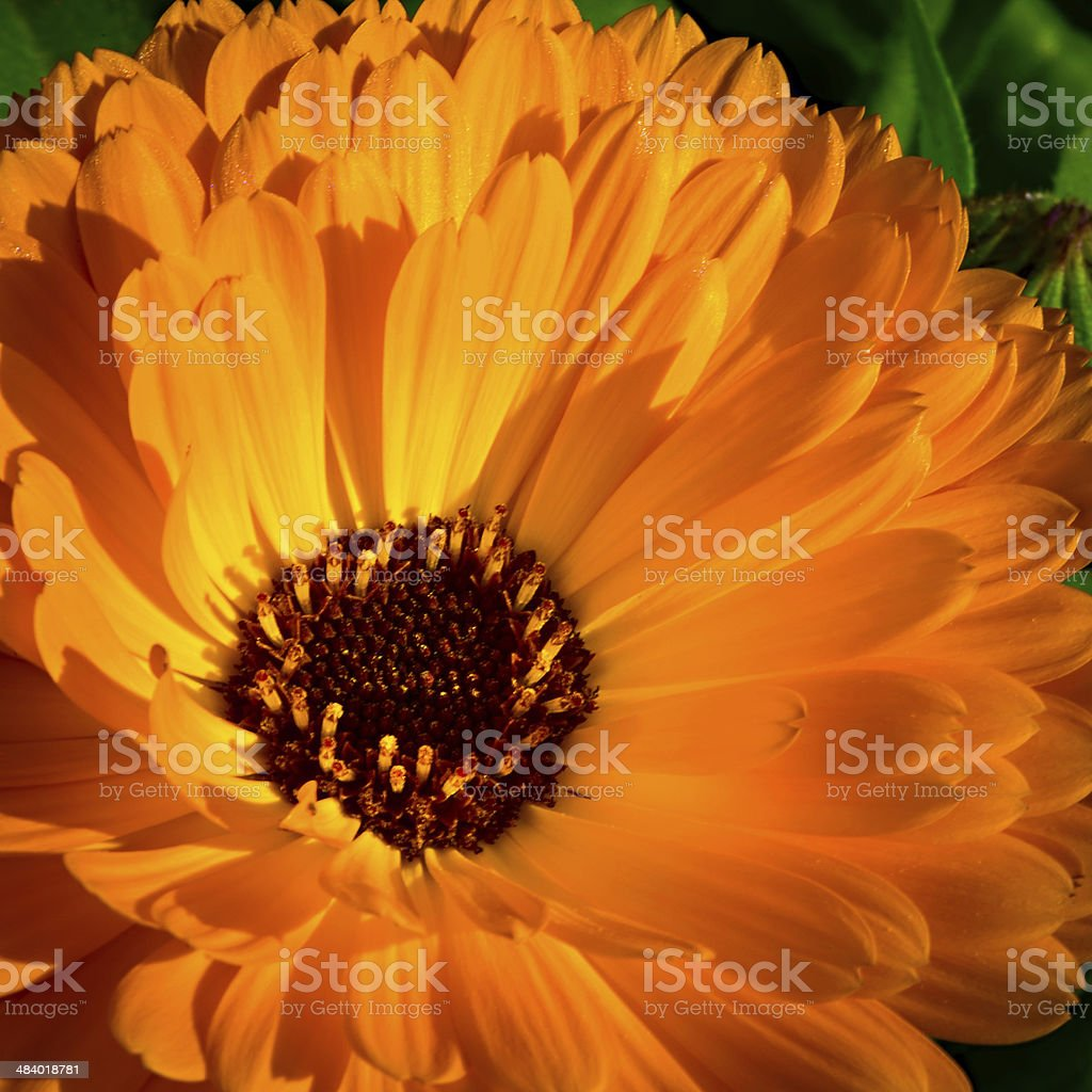 big orange  red blossom of marigold flower with sunlight royalty-free stock photo