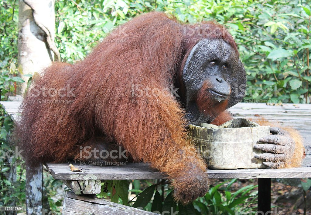 Big orangutan royalty-free stock photo