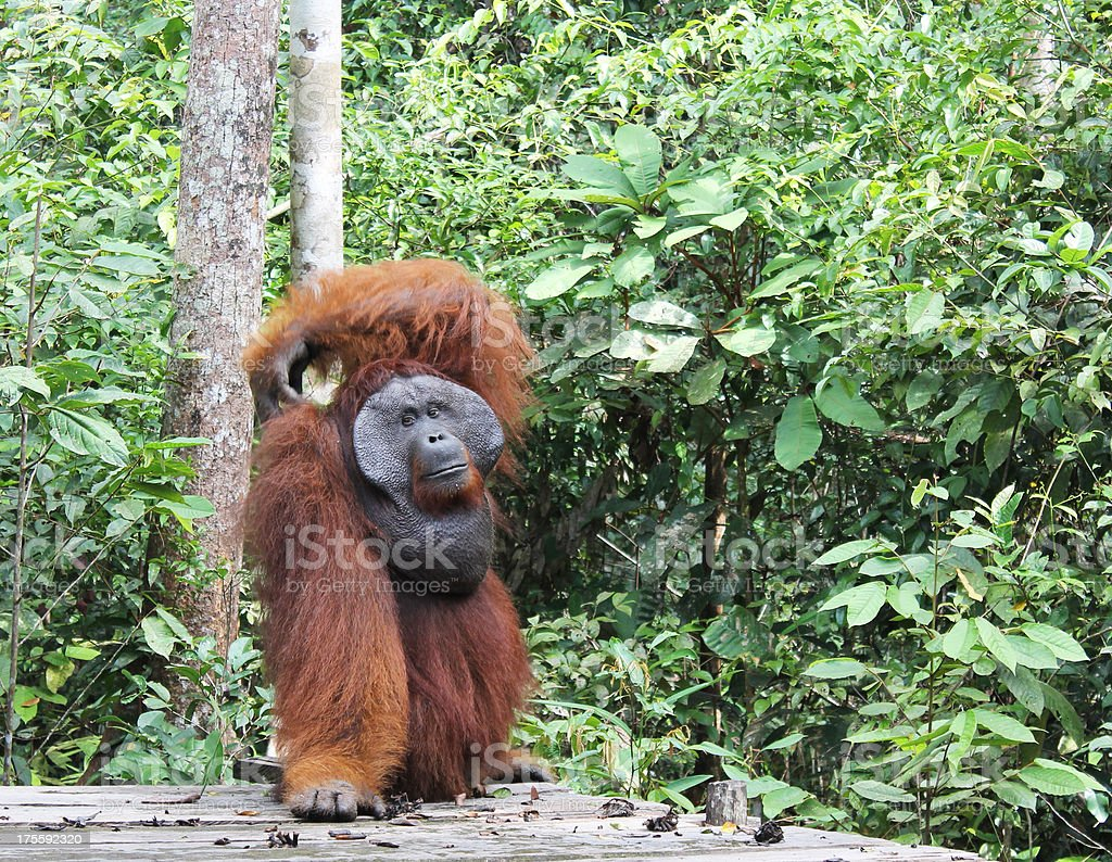 Big orangutan scratching its back stock photo