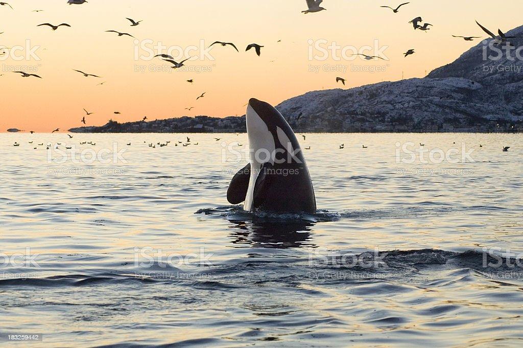 Big Orca Sunset Spyhop stock photo