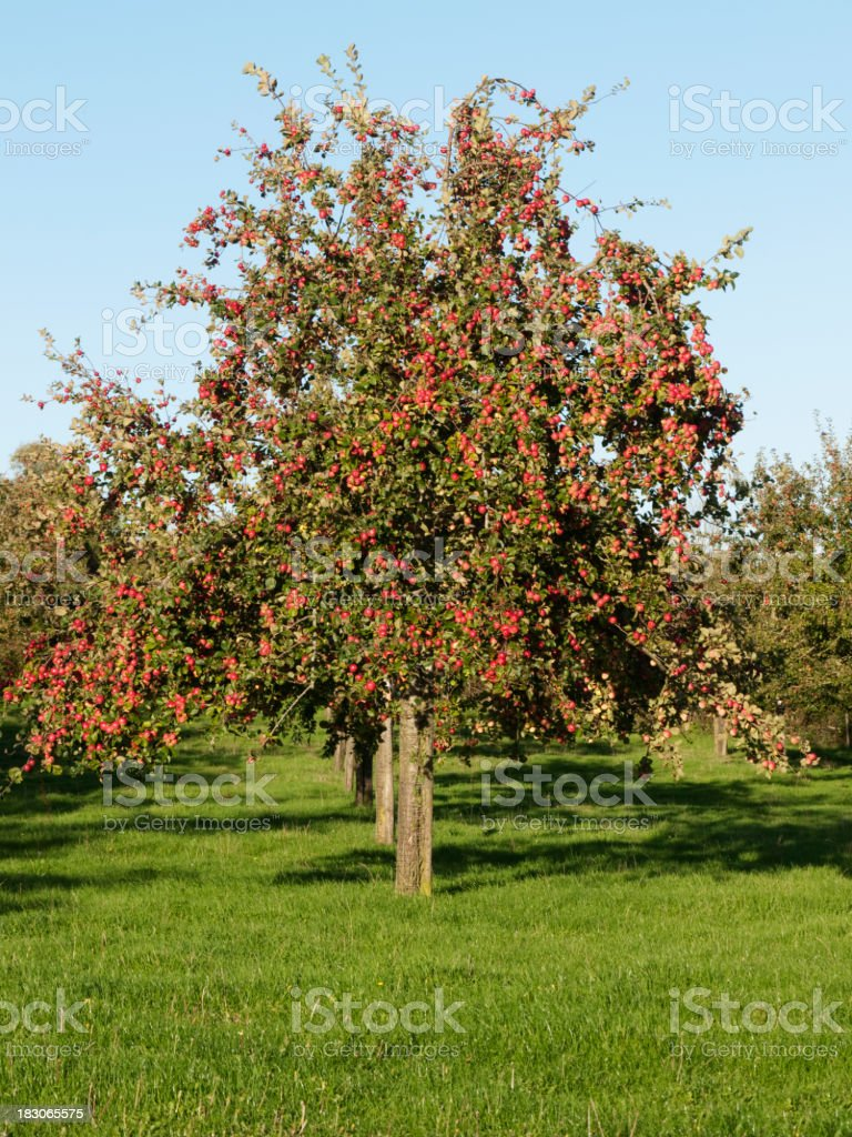 Big orchard of apple trees on a sunny day stock photo