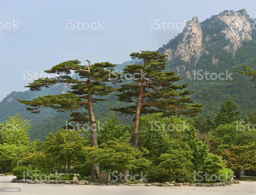 Big pair pine trees at Seoraksan National Park, South korea stock photo