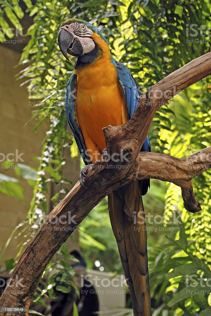 Big parrot (Green wings macaw) royalty-free stock photo