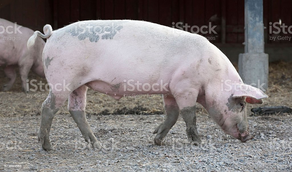 big pig full-length profile stock photo